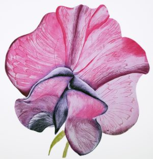 Graphic Studio Dublin • Grainne Cuffe: Graphic Studio Dublin: Sweet Pea Papillion