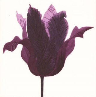 Gráinne-Cuffe-Tulipa-Purpora-2014-Etching-19-x20cms-40-x-37cms-600x607