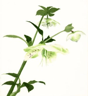 Graphic Studio Dublin • Maura Keating: Graphic Studio Dublin: Hellebore