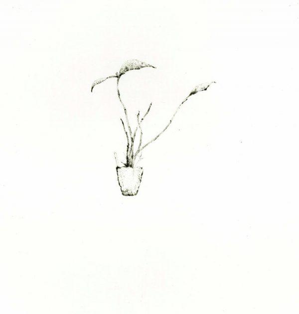 Graphic Studio Dublin: Dendrobium fleckeri