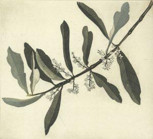 Graphic Studio Dublin •Cliona Doyle: Olive branch I
