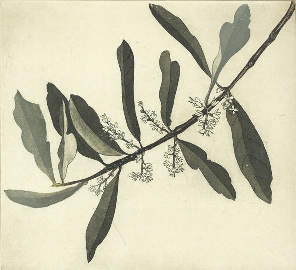 Cliona Doyle, Olive branch I