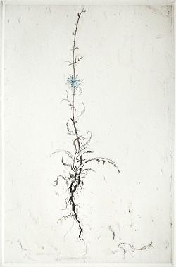 Graphic Studio Dublin •Lars Nyberg: Chicory