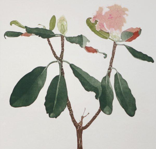 Cliona Doyle, Rhododendron Falconeri