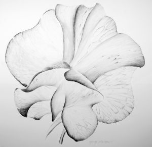 Graphic Studio Dublin • Grainne Cuffe: Sweet Pea Papillion, Graphite on Sommerset, 106 x 102 cm, € 1755 framed price