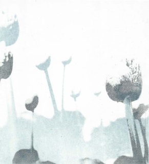 Allium Buds, Ann Kavanagh