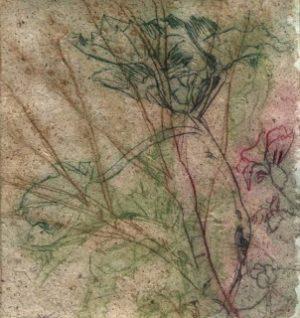Lavatera Arborea, Cecilia Stephens