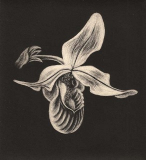 Slipper Orchid, Gavin O'Connor
