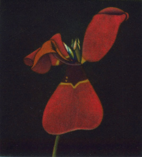 Tulip, James McCreary