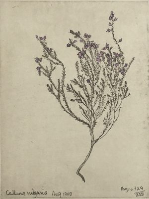 Graphic Studio Dublin • Margaret Tuffy: Calluna Vulgaris, Margaret Tuffy
