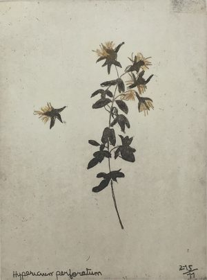 Graphic Studio Dublin • Margaret Tuffy: (Foxford) Hypericum Paerforatum, Margaret Tuffy