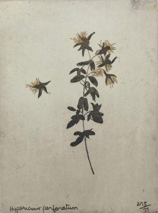 (Foxford) Hypericum Paerforatum, Margaret Tuffy