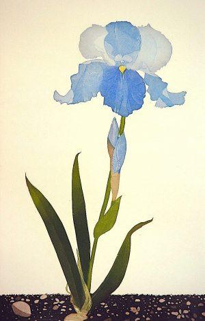 Graphic Studio Dublin •Cliona Doyle: Graphic Studio Dublin: Iris 'Brise de Mer'