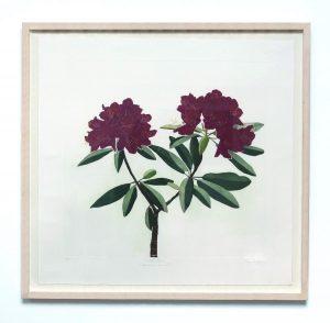 Graphic Studio Dublin •Cliona Doyle: Graphic Studio Dublin: Rhododendron Catawbiense Boursault