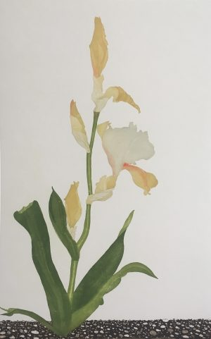 Graphic Studio Dublin • Cliona Doyle: Graphic Studio Dublin: Iris 'Peach Melba'