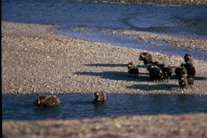MUSK OXEN COOLING OFF, BATHURST IS. 1984